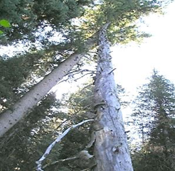 hazard-tree-hang-ups. Photograph looking up into tree tops and seeing one tree leaning up against another.