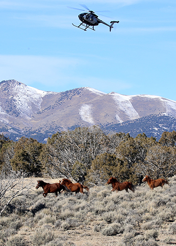 A helicopter rounds up a group of wild horses on the range. Decorative.