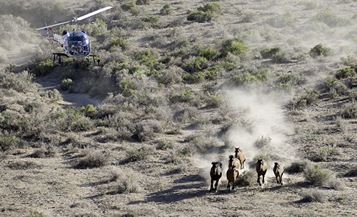 A helicopter rounds up a group of wild horses on the range. Decorative