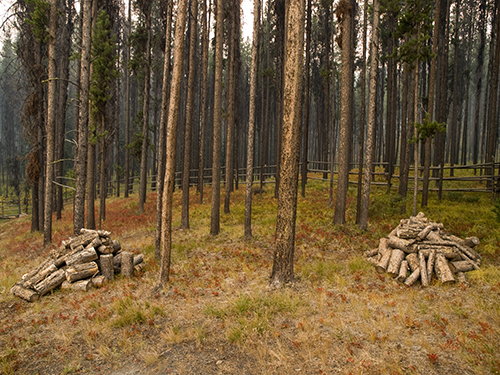 Photo Looking into pine forest with downed trees cut and placed neatly in piles. decorative.