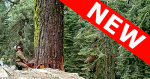 Image of sawyer looking at large tree to be cut; new banner