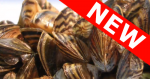 Image of zebra mussels with NEW diagonal tag